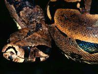 Обыкновенный удав (Boa constrictor),