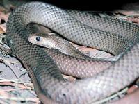 Нубийская плюющаяся кобра (Naja nubiae)