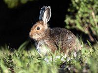 Дикий кролик (Oryctolagus cuniculus)