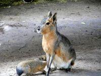 Патагонская мара (Dolichotis patagonum)