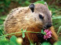 Лесной сурок (Marmota monax),