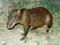 Бразильский агути (Dasyprocta leporina),