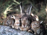 Заяц-беляк (Lepus timidus),