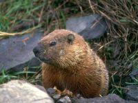 Сурок (Marmota)