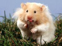 Ангорский хомячок,  фото