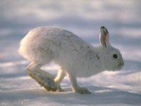 Заяц-беляк,