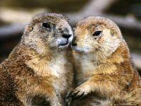 Сурки (Marmota),