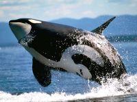 Косатка, кит убийца