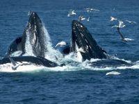 Горбатые киты (Megaptera novaeangliae)
