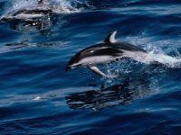 Тихоокеанские дельфины (Lagenorhynchus obliquidens),