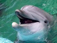 Дельфинья голова,