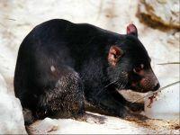 Тасманийский, или сумчатый дьявол (Sarcophilus laniarius)