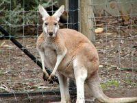 Большой рыжий кенгуру (Macropus rufus)