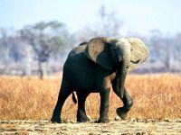 Африканский, или саванный слон (Loxodonta africana)