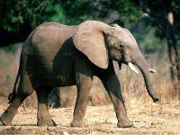 Гуляющий слоненок