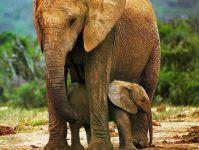 Слониха охраняет слоненка,
