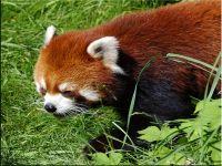 Красная, или рыжая панда, фото обои с животными,