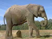 Слон,