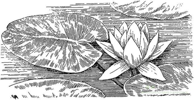 Кувшинка чисто-белая (Nymphaea candida) чисто-белая кувшинка, черный рисунок картинка.