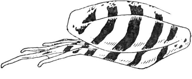 Задняя лапа травяной лягушки  (Rana temporaria)