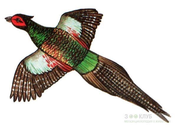 Раскраски фазан