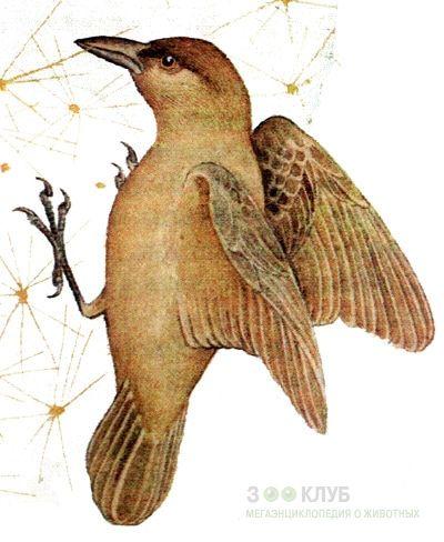 Вьюрок дятловый (Camarhynchus pallidus) дятловый вьюрок, рисунок ...