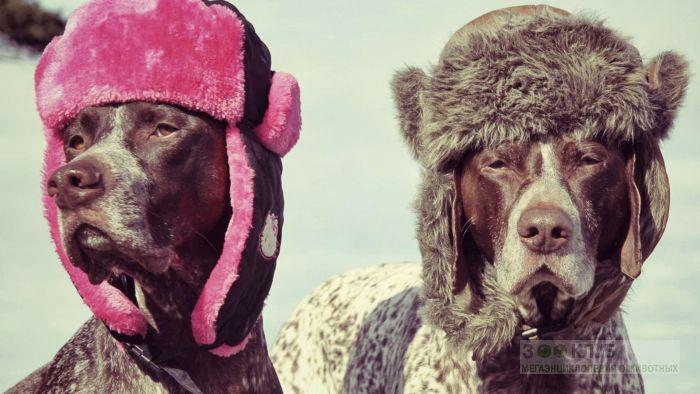 Охотничья собака курцхаар, фото фотография картинка обои