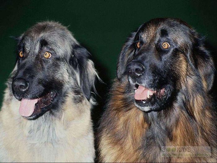 Леонбергер собака, фото фотография картинка обои