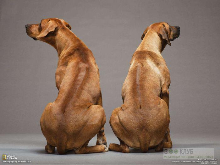 Риджбек собака, фото фотография картинка обои