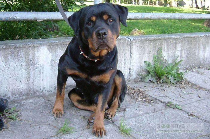 Ротвейлер собака, фото фотография картинка обои