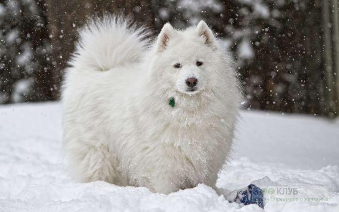 Самоед (самоедская лайка) на снегу, фото фотография картинка обои