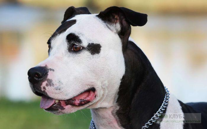 Собака стаффордширский терьер, фото фотография картинка обои