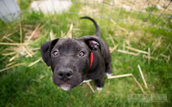 Куплю стаффордширского терьера щенка, фото фотография картинка обои