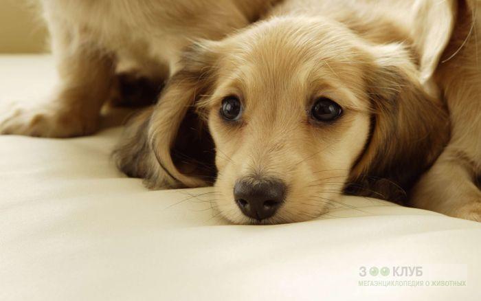 Кличка для щенка таксы, фото фотография картинка обои