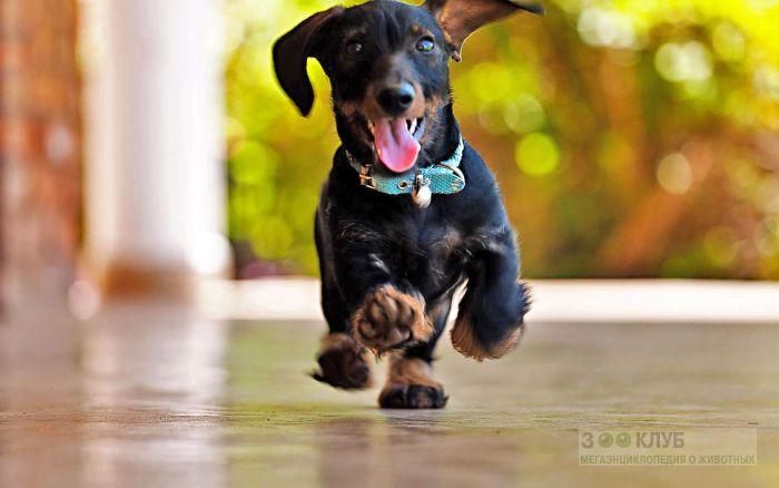 Такса черная фото собаки, Такса черная фото породы собак обои ...