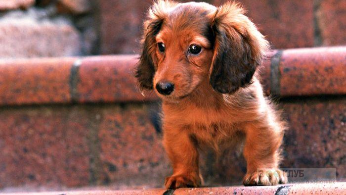 Клички собак такса, фото фотография картинка обои