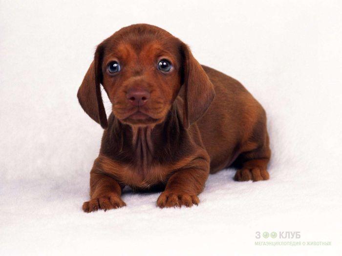 Чем кормить щенка таксы?, фото фотография картинка обои