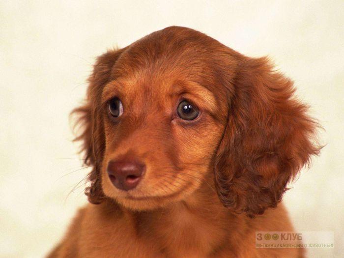 Рыжий щенок, фото фотография картинка обои