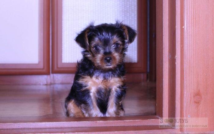 Как назвать щенка йоркширского терьера?, фото фотография картинка обои