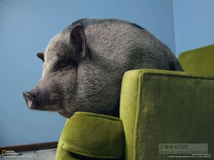 Карликовая свинья, фотография фото обои картинка