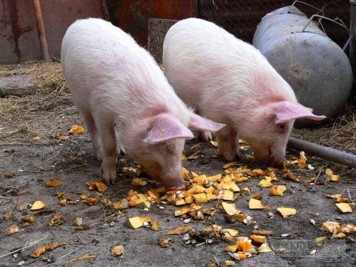 Поросята-подростки едят тыкву, фото обои фотография картинка