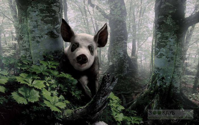 Свинья, заблудившаяся в лесу, фото фотография картинка обои