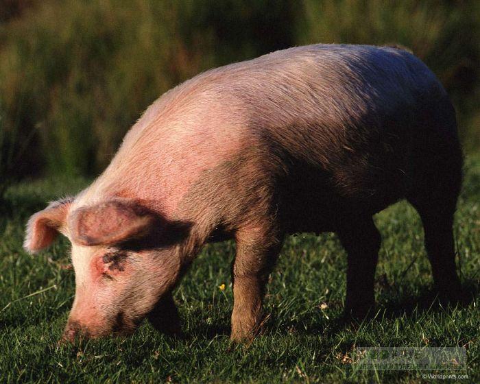 Свинья на лугу, фотография фото картинка обои
