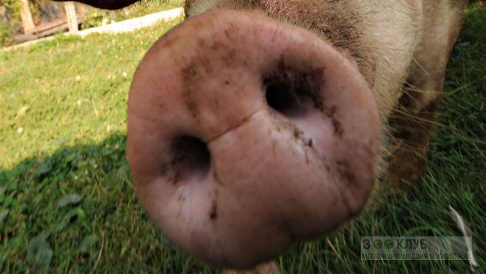 Пятачок свиньи, фото фотография картинка обои