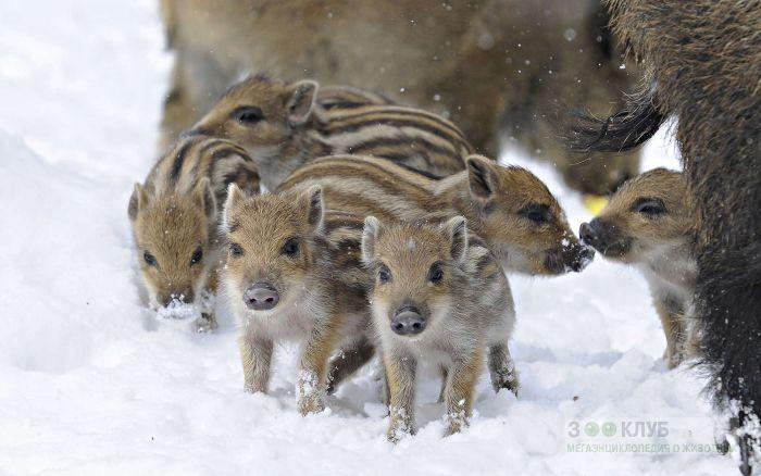 Повадки кабана - Животные России