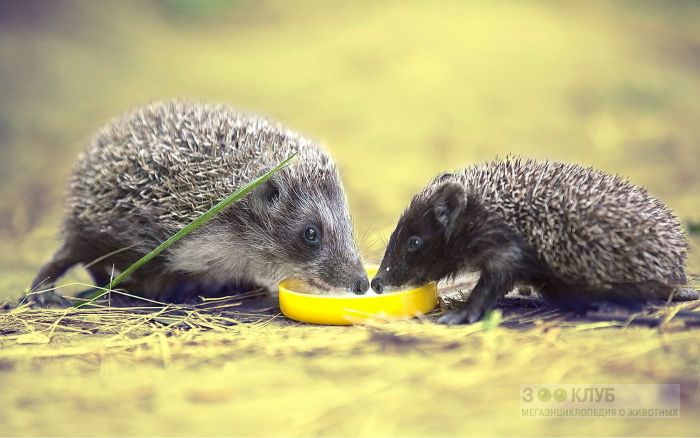 Чем питаются ежи?, фото фотография картинка обои