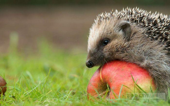 Маленький еж и яблоко, фотография фото картинка обои