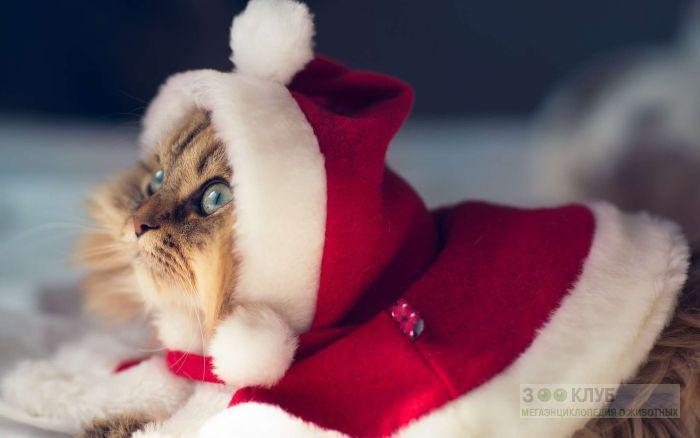 Персидская кошка в новогоднем костюме, фото фотография картинка обои