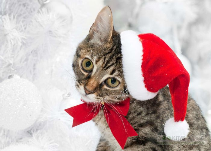Кот в рождественской шапочке и галстуке-бабочка фото, фото фотография картинка обои