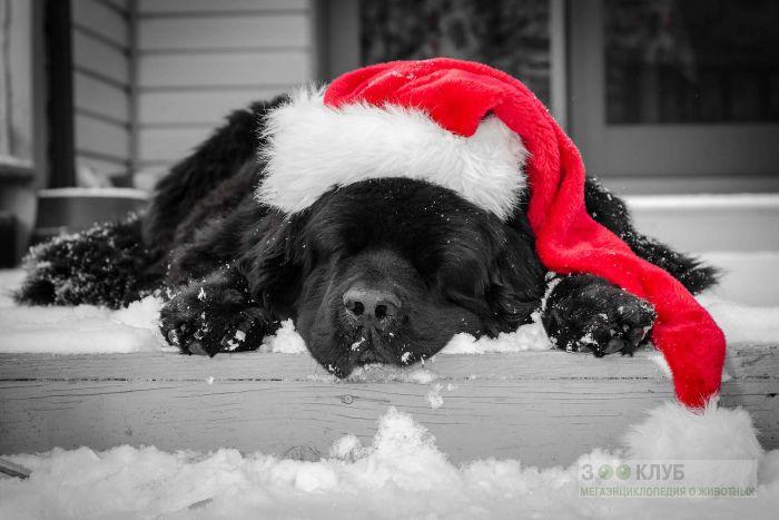 Спящая черная собака в красной шапочке, фото фотография картинка обои